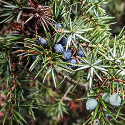 learn how to find juniper berry in the boreal forest of northern Europe